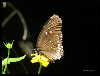 Mocha Butterfly on Yellow by Mogrianne