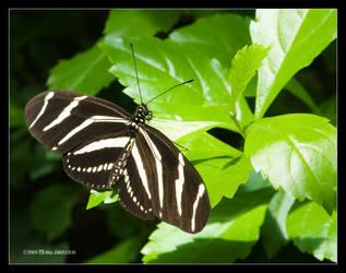 Butterfly Zebra Longwing by Mogrianne