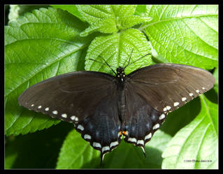 Butterfly - Spicebush by Mogrianne