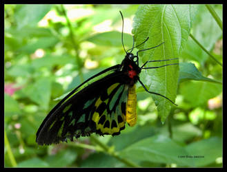 Butterfly Cairns Birdwing Male by Mogrianne