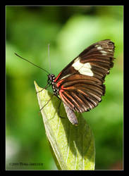 Butterfly - Doris Longwing by Mogrianne