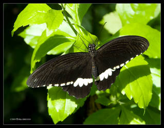 Buuterfly Common Mormon Male by Mogrianne