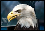 Portrait of a Bald Eagle by Mogrianne