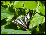 Zebra Swallowtail Butterfly by Mogrianne