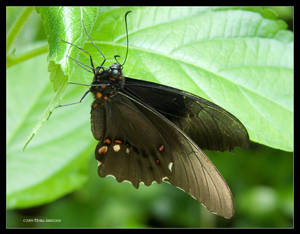 Photinus Butterfly