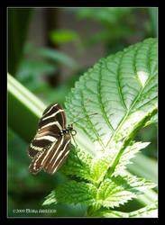 Zebra Longwing Butterfly by Mogrianne
