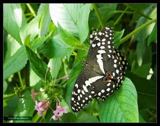 Citrus Swallowtail Butterflies by Mogrianne