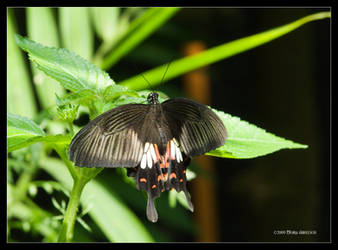 Common Mormon Butterfly 2 by Mogrianne