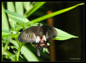 Common Mormon Butterfly 2