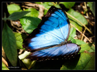 Blue Morpho Butterfly 1 by Mogrianne