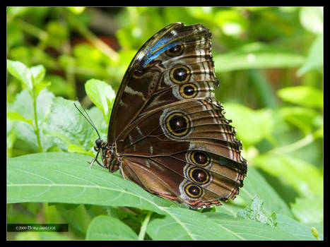 Blue Morpho Butterfly 2 closed