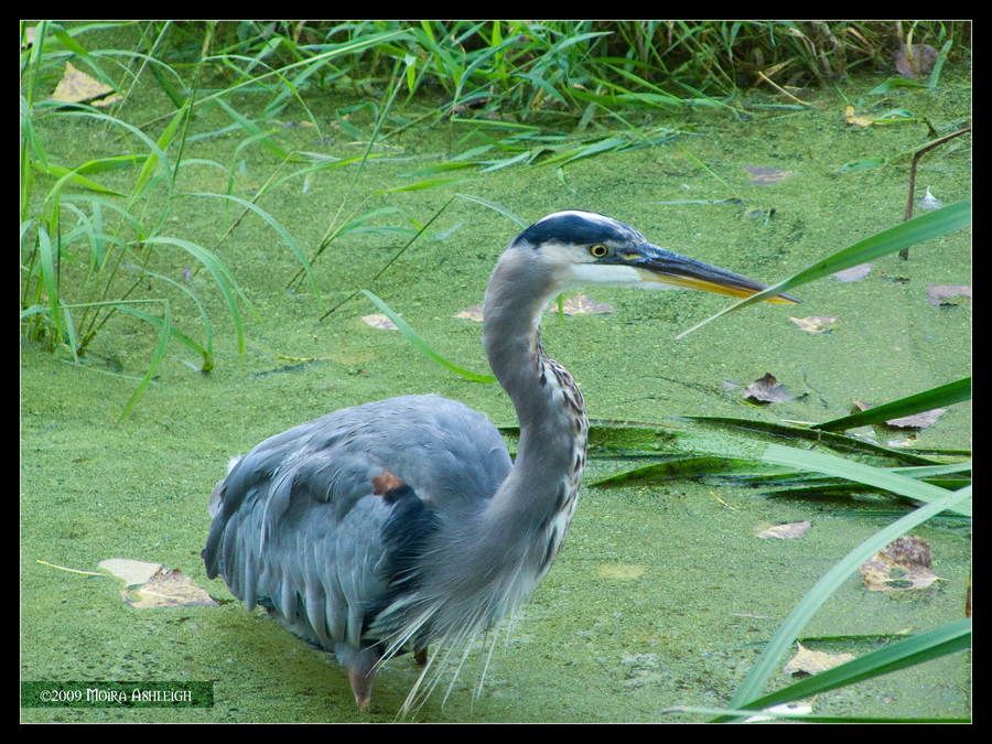 Blue Heron on Green by Mogrianne