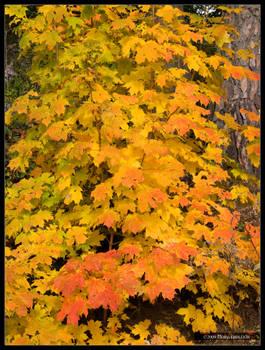 Hot Maple October
