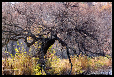 Lady Willow After Leaf Fall by Mogrianne