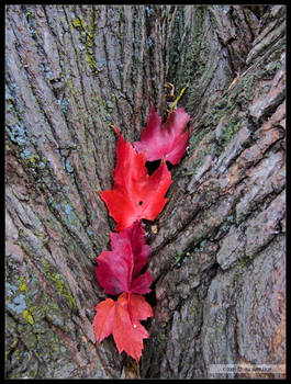 4 of Red Leaves