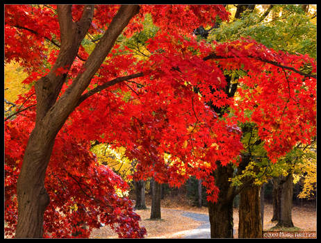 Go Under the Red Maple