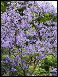 Jacaranda Tree by Mogrianne
