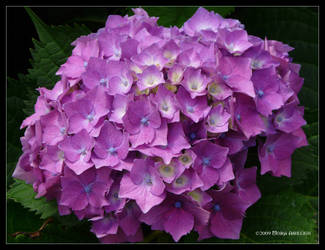 Purple Profusion by Mogrianne