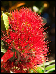 Pohutukawa Flowers I by Mogrianne