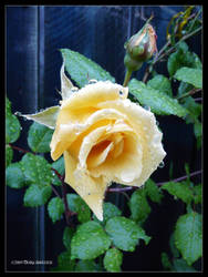 Morning Rose I - Rotarua by Mogrianne