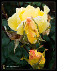 Morning Rose too - Rotarua by Mogrianne