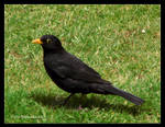 Blackbird in Grass by Mogrianne