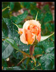 Just Peachy Rosebud by Mogrianne