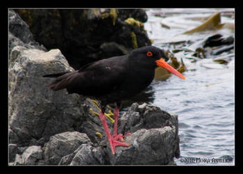 Black Oyster-Catcher by Mogrianne