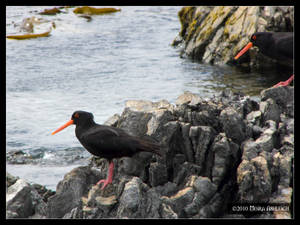 Black Oyster Catchers Too