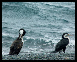 Two Shags by the Sea by Mogrianne