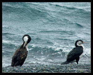 Two Shags by the Sea