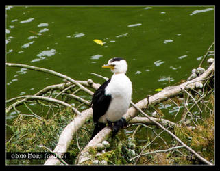 Little Pied Shag by Mogrianne