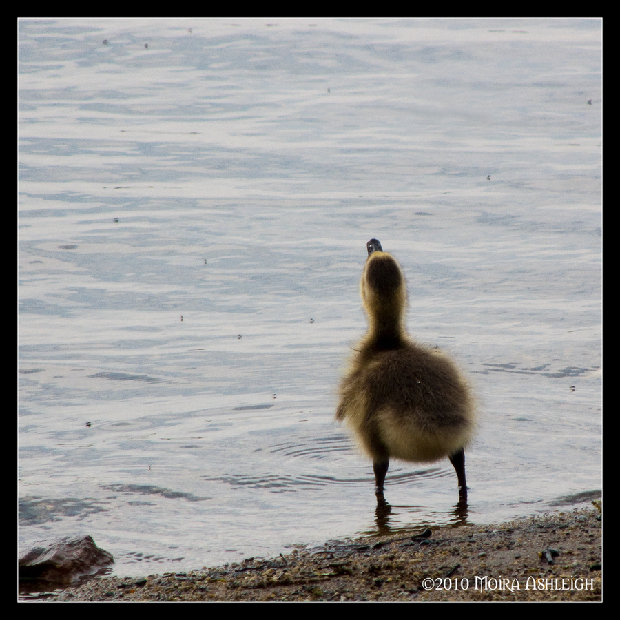 One Baby Goose by Mogrianne
