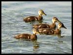 4 Ducklngs