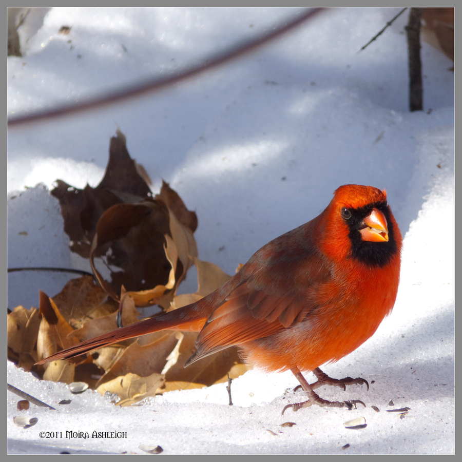 Cardinal and Sunflower Seeds by Mogrianne