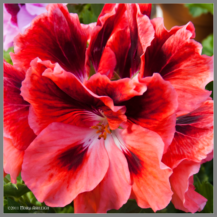 CVECE - Page 2 Geranium_in_bloom_squared_by_mogrianne-d3c7qnx