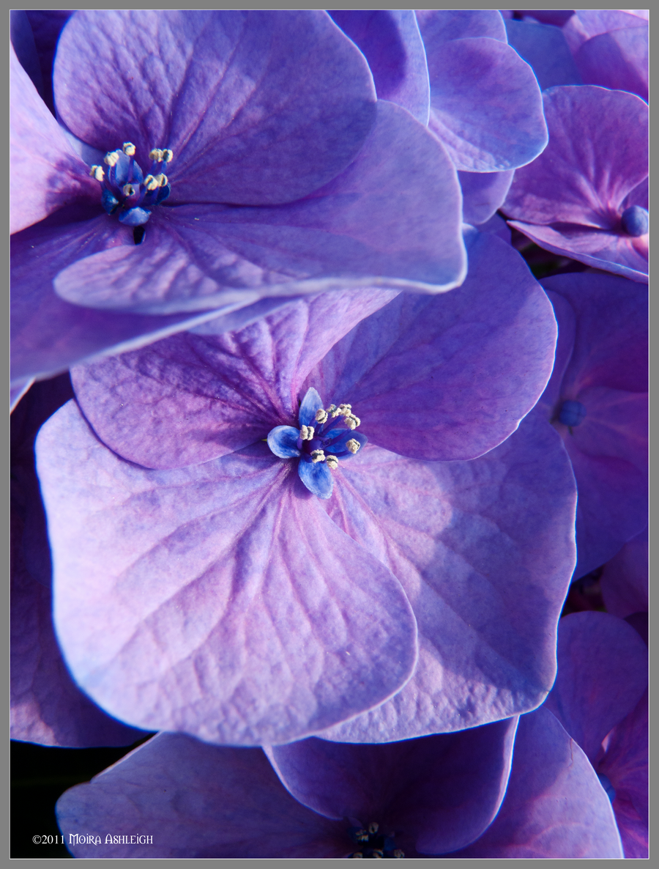 CVECE - Page 2 Hibiscus_flowers_up_close_by_mogrianne-d3d1ax7
