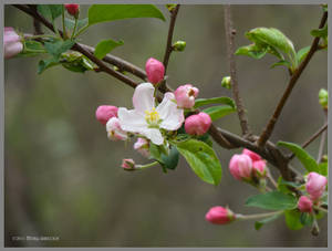 Promise of Apples