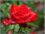 Red Rose Blooming in Rain