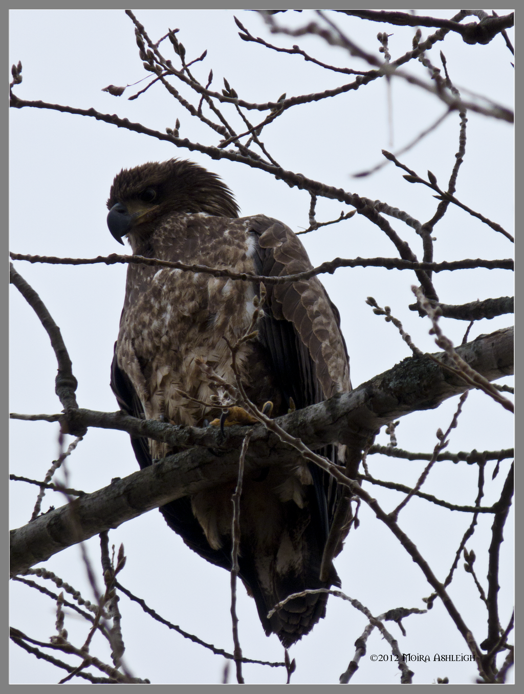 Immature Bald Eagle by Mogrianne