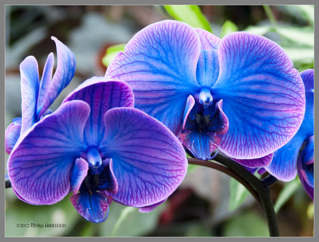 Wild Blue Orchids by Mogrianne