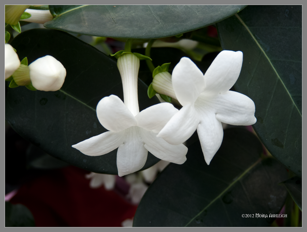 Jasmine Flowers By Mogrianne On Deviantart