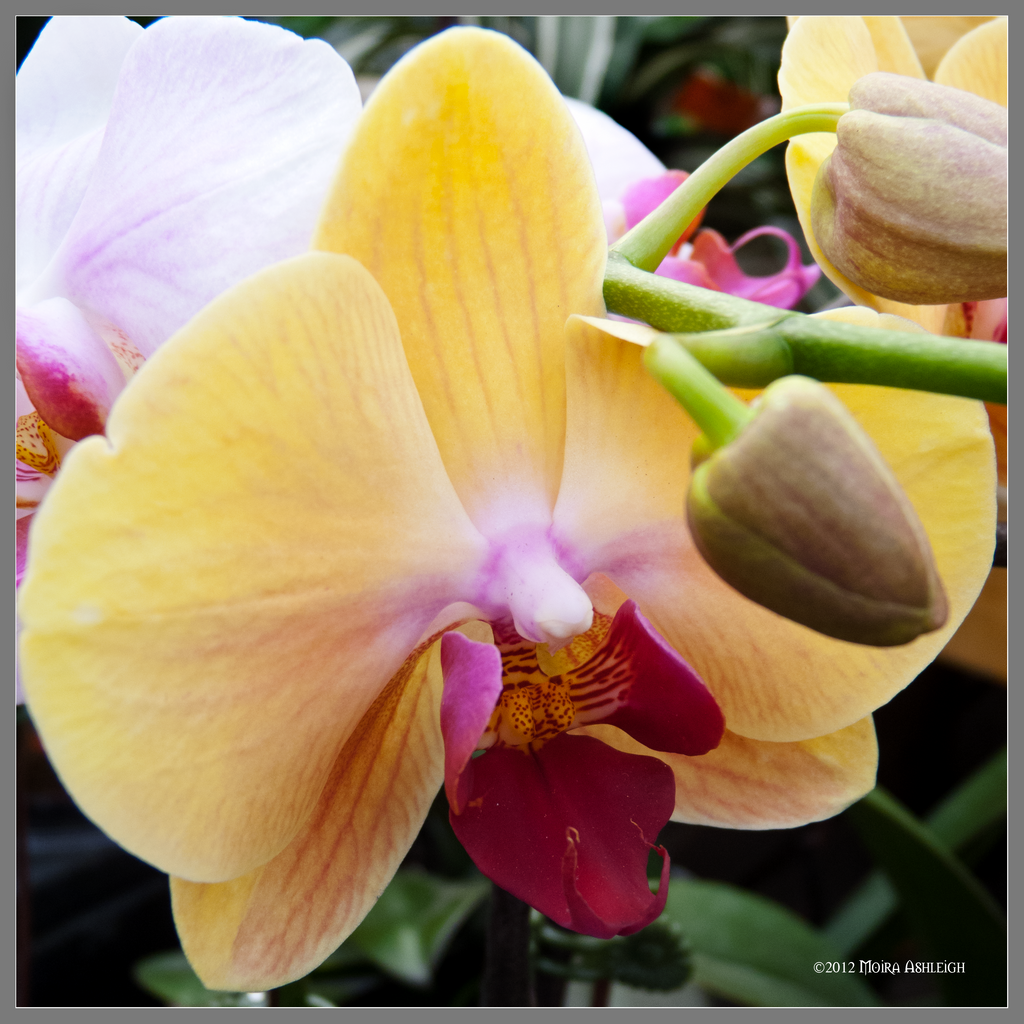Yelow Orchid Square by Mogrianne