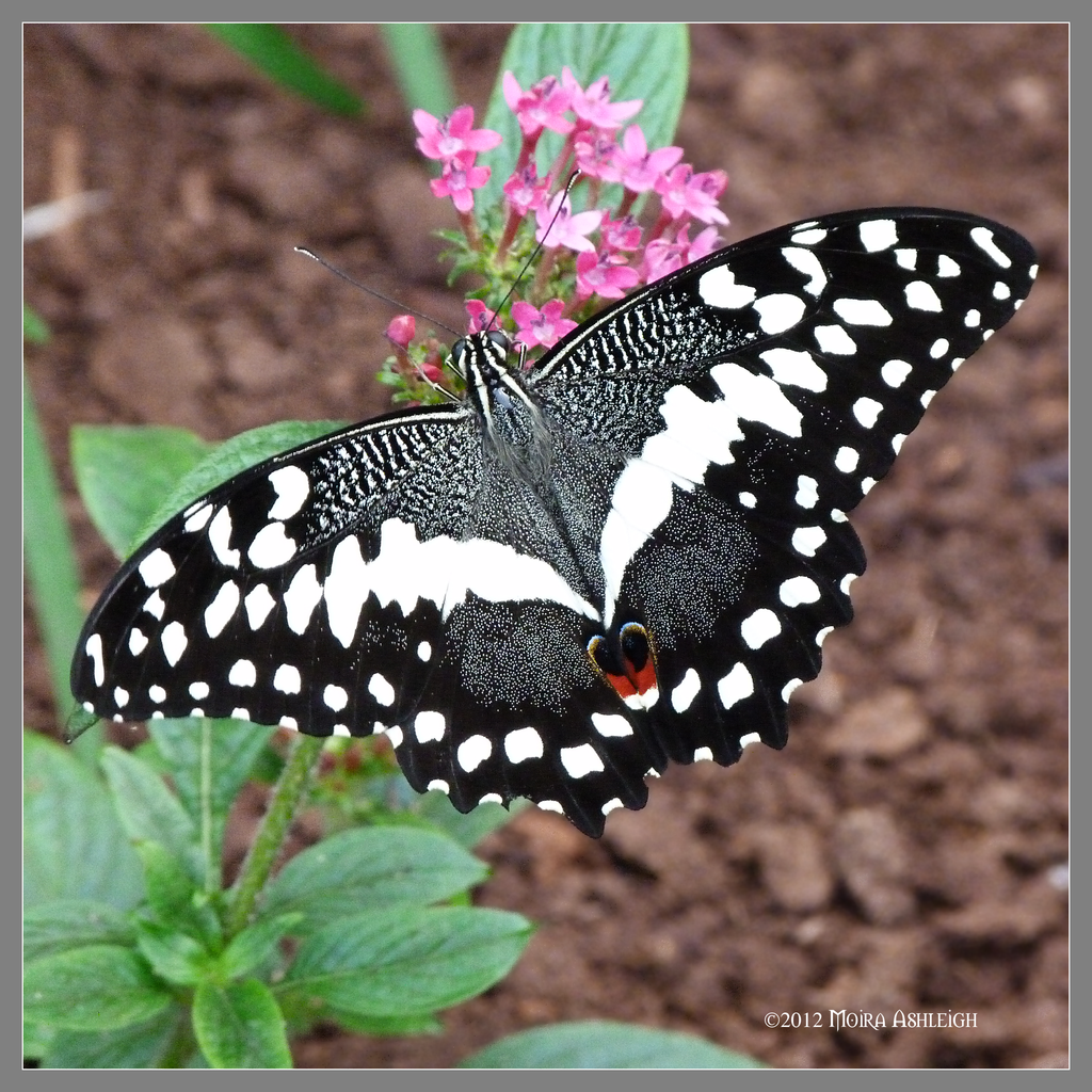 Black and White Butterfly by Mogrianne on DeviantArt: mogrianne.deviantart.com/art/black-and-white-butterfly-290276327