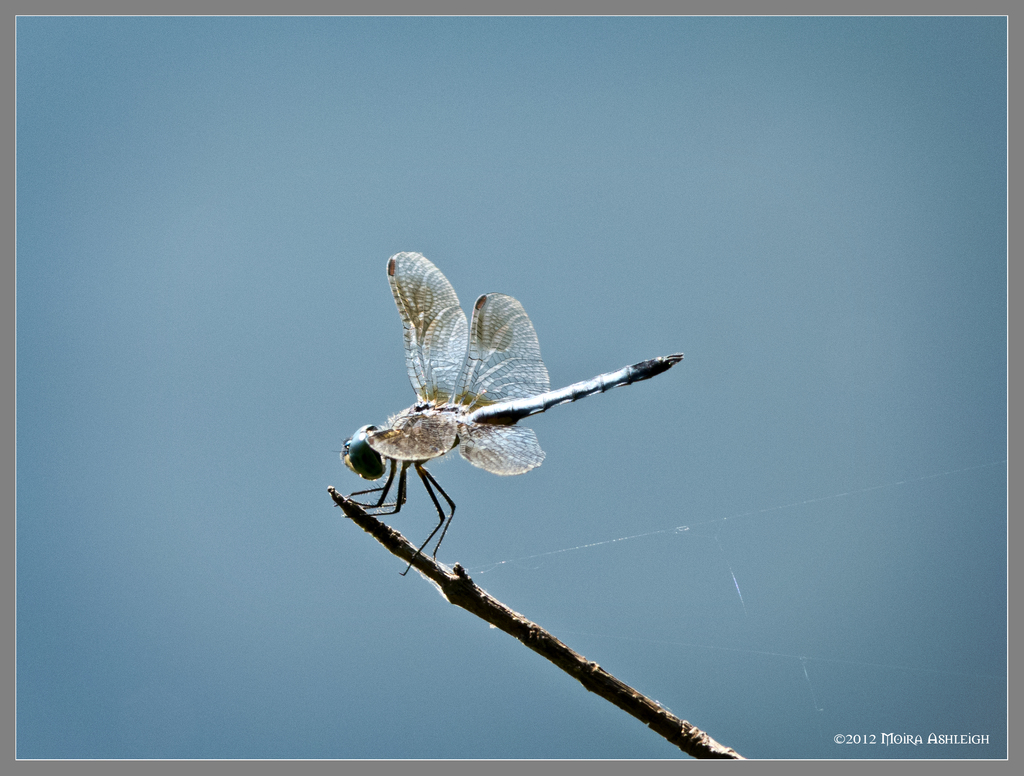 Blue dragonfly by Mogrianne
