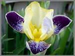 Iris on the Corner