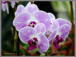 A Tumble of Orchids by Mogrianne