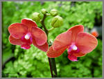Two coral orchids by Mogrianne