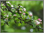 Apple blossom bokeh by Mogrianne