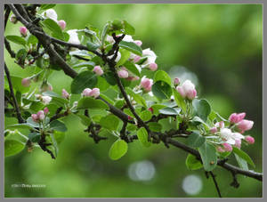 Apple blossom bokeh